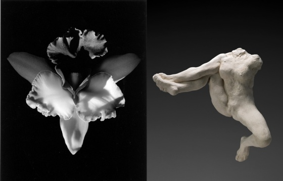 Robert Mapplethorpe, Orchid (1985) / Auguste Rodin, Iris messagère des dieux (vers 1891-1893) © 2014 Robert Mapplethorpe Foundation © Paris, Musée Rodin, photo Christian Baraja