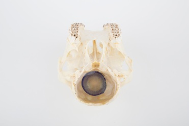 Marion Catusse, «Les enfants perdus» , 2014 Skull, resin, agar agar, mica, ink and glue